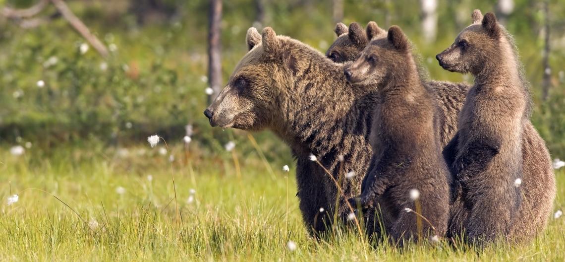 Как вести себя в лесу, чтобы не встретить медведя